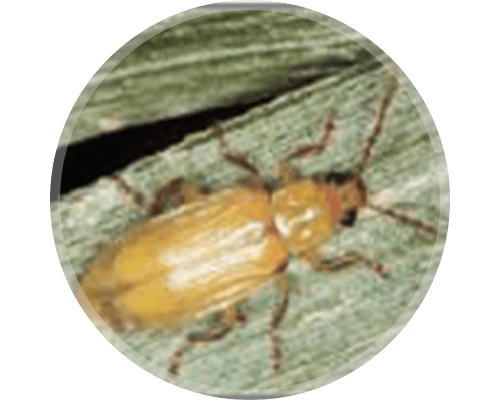 Northern Corn Rootworm (NCRW) Beetle or Adult