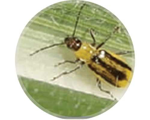 Western Corn Rootworm (WCRW) Beetle or Adult