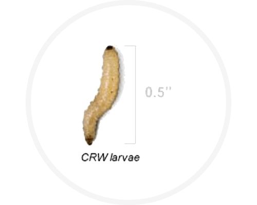 Corn rootworm larvae